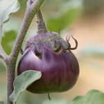 aubergine-ronde-1024×726
