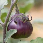 aubergine-ronde-1024×726