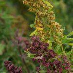 quinoa-473×1024